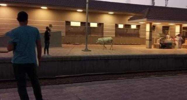 حمار يتجول داخل محطة قطارات المحلة رغم تجديدها في الغربية